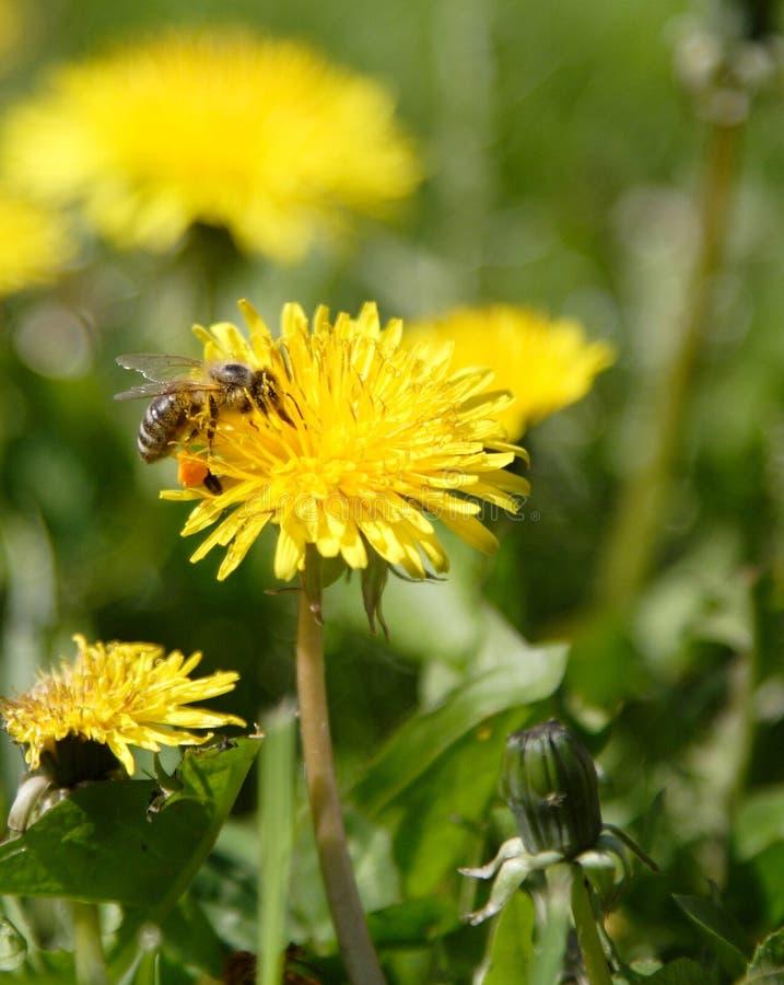 εργασία μελισσών στοκ φωτογραφία