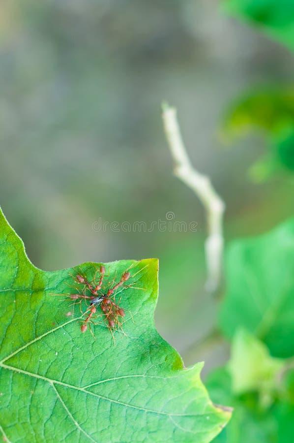 Εργασία ομάδας, μυρμήγκια στοκ φωτογραφία με δικαίωμα ελεύθερης χρήσης