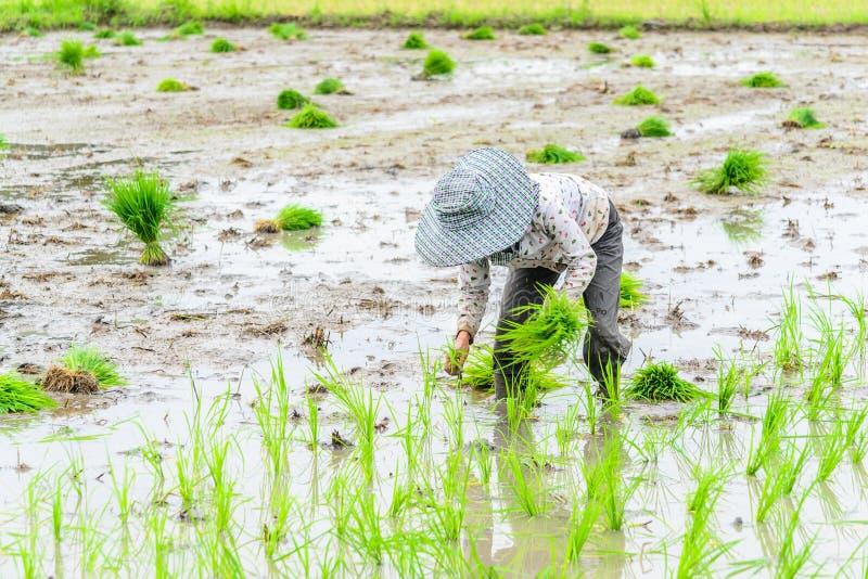 Εργασία στον τομέα ρυζιού στοκ φωτογραφία με δικαίωμα ελεύθερης χρήσης