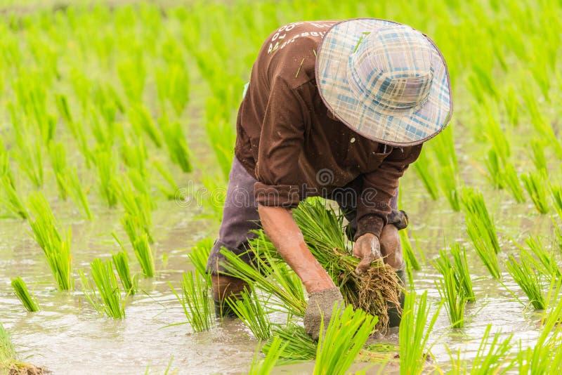 Εργασία στον τομέα ρυζιού στοκ φωτογραφία