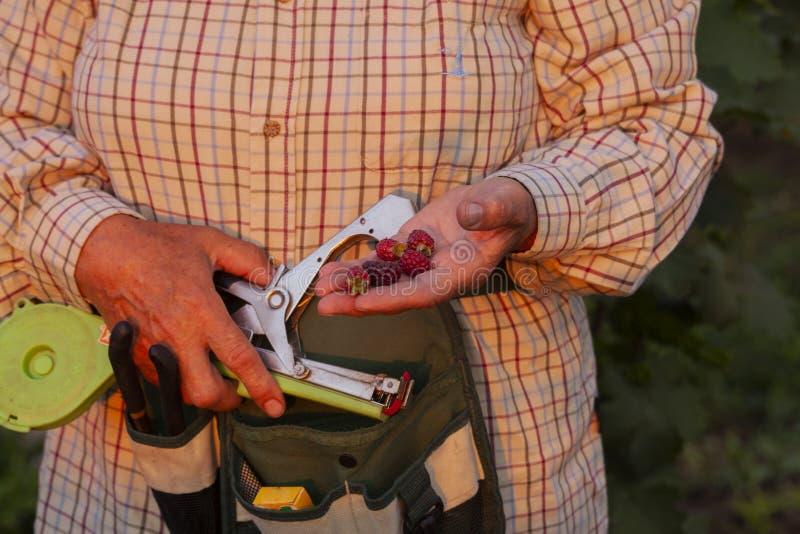 Εργασίες γυναικών στο αγρόκτημα βατόμουρων στοκ φωτογραφίες