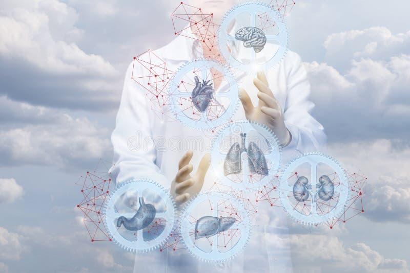 Εργασίες εργαζομένων στον ιατρικό κλάδο με το μηχανισμό των εσωτερικών οργάνων στοκ εικόνες