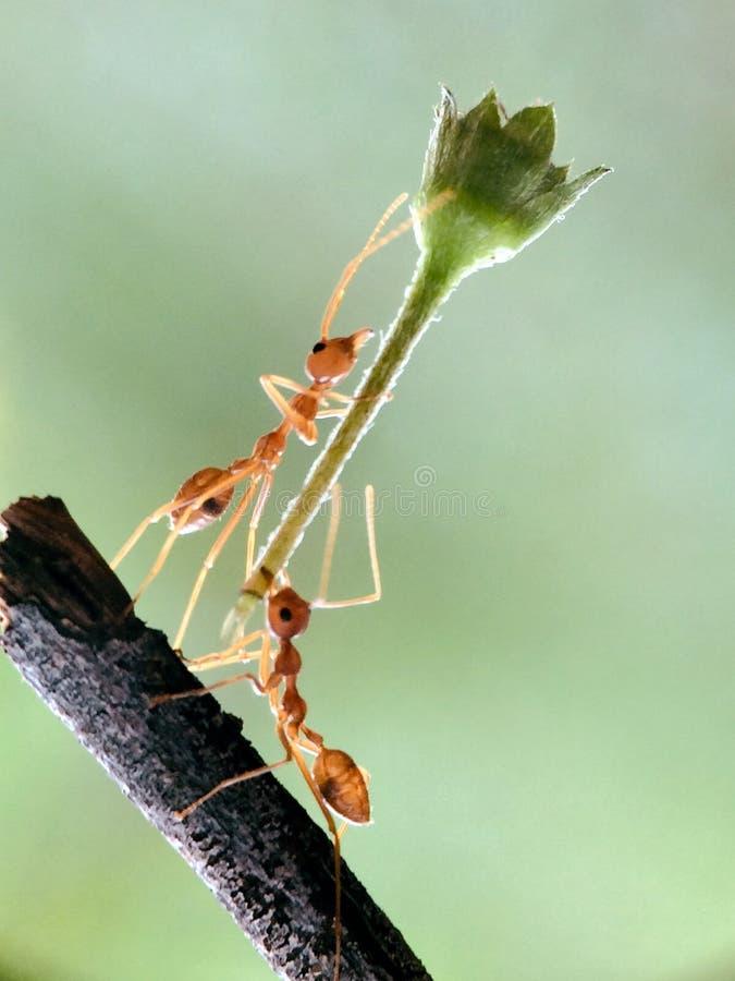 Εργατική εργασία ομάδων μυρμηγκιών στοκ εικόνες