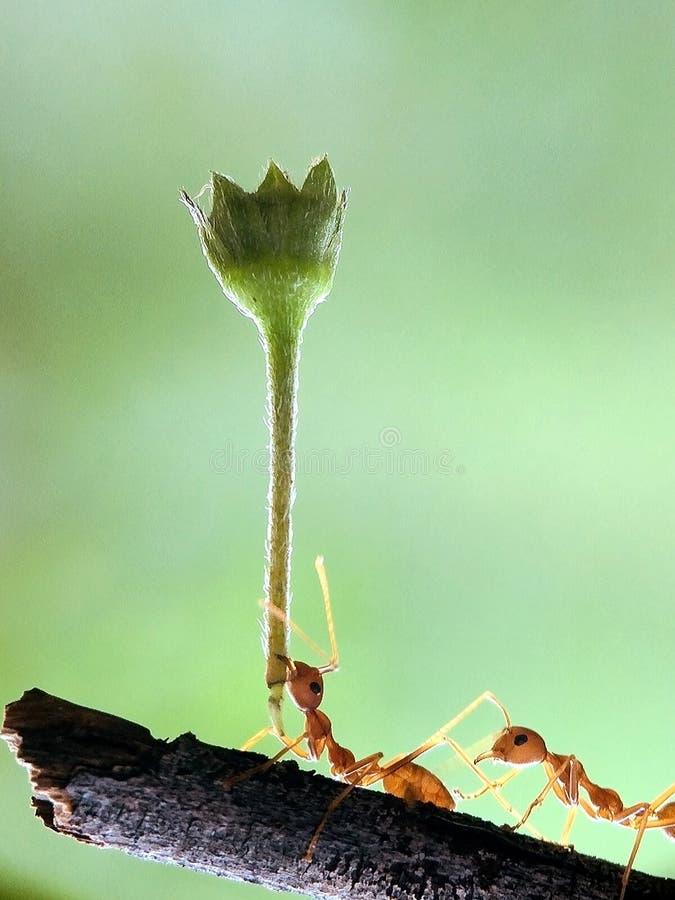 Εργατική εργασία ομάδων μυρμηγκιών στοκ φωτογραφία με δικαίωμα ελεύθερης χρήσης