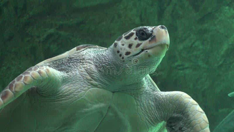 Ερπετά και άγρια φύση χελωνών θάλασσας στοκ εικόνα με δικαίωμα ελεύθερης χρήσης