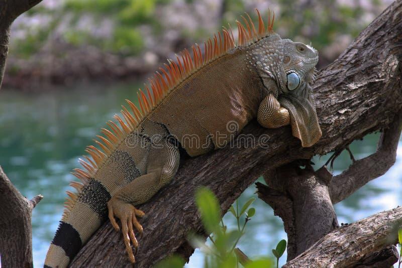 Ερπετό Iguana στοκ φωτογραφίες