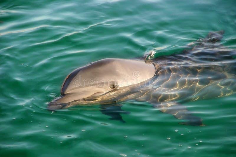 Ερυθρά Θάλασσα δελφινιώ& στοκ εικόνες