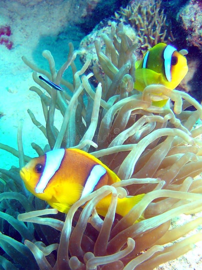 Ερυθρά Θάλασσα ψαριών anemone στοκ εικόνα με δικαίωμα ελεύθερης χρήσης