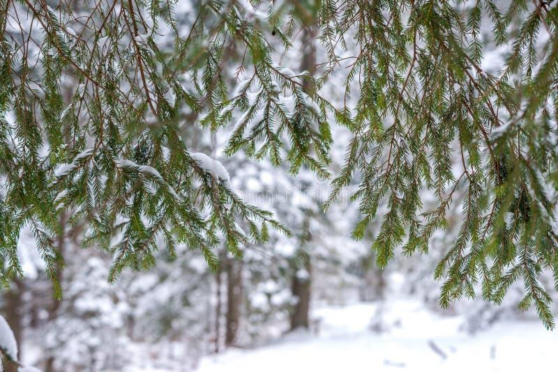 ερυθρελάτες βελόνων στο υπόβαθρο μπορείτε να δείτε το χιονισμένο δάσος στοκ φωτογραφία