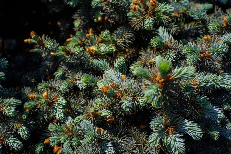 Ερυθρελάτες με το σχηματισμό των νέων νέων ανοικτό πράσινο κλαδίσκων την άνοιξη στο δάσος στοκ εικόνα