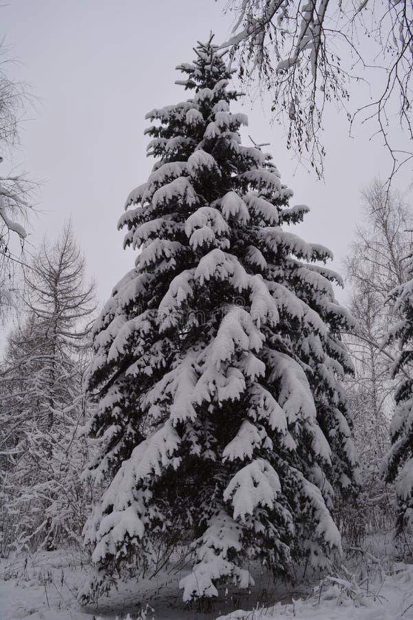 Ερυθρελάτες που καλύπτονται με το χιόνι στη δασική χειμερινή νεφελώδη ημέρα στοκ εικόνες