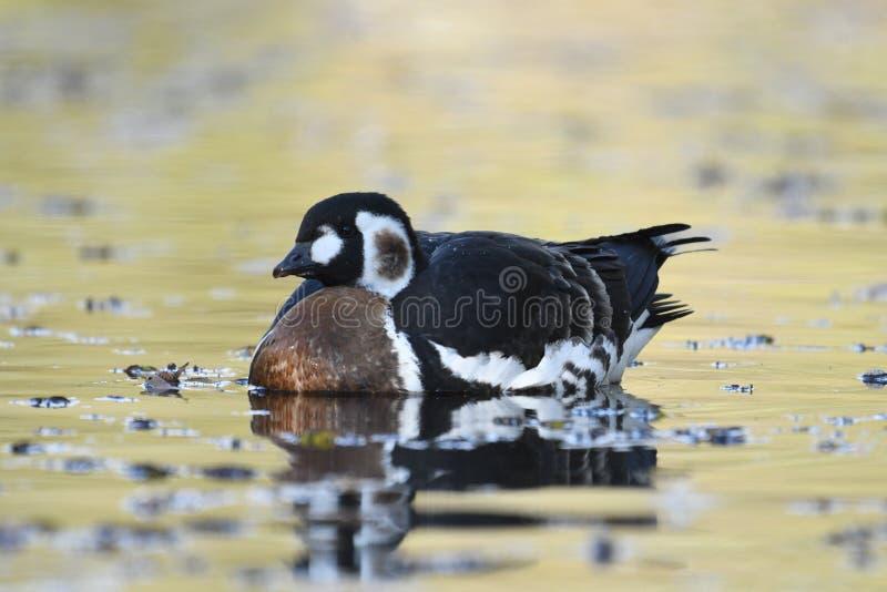 Ερυθρόλαιμα rufficollis Branta χήνων στοκ εικόνες