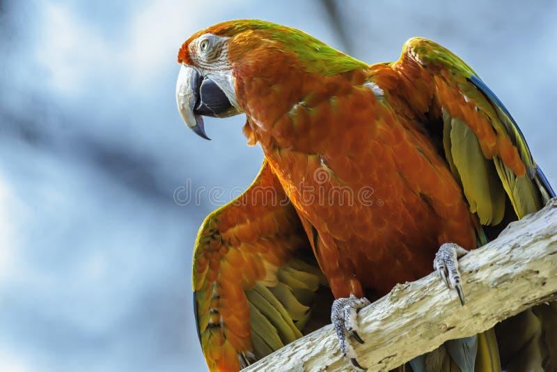 Ερυθρός παπαγάλος macaw που σκαρφαλώνει στον κλάδο στοκ εικόνες
