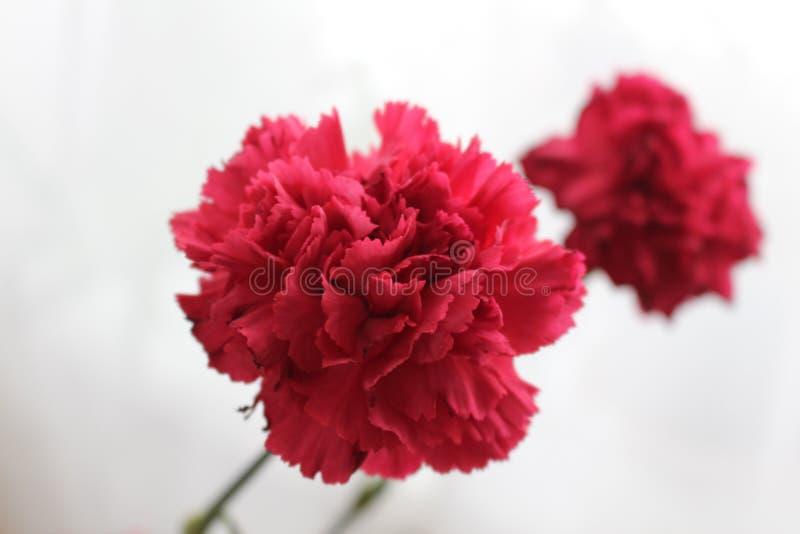 Ερυθρό ροζ στο υπόβαθρο στοκ εικόνες με δικαίωμα ελεύθερης χρήσης