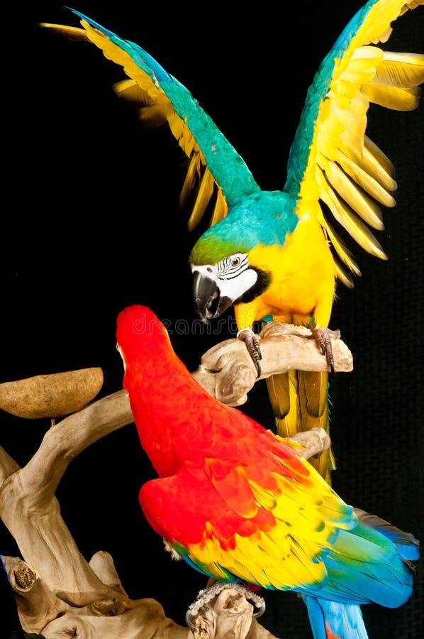 Ερυθρό macaw και μπλε-χρυσοί macaw παπαγάλοι στοκ εικόνες