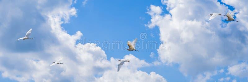 Ερωδιοί που πετούν σε μια σειρά στο υπόβαθρο μπλε ουρανού στοκ φωτογραφίες με δικαίωμα ελεύθερης χρήσης