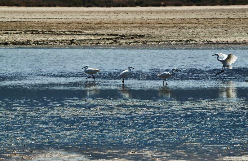 Ερωδιοί στην αλατισμένη λίμνη Alikes στοκ εικόνα με δικαίωμα ελεύθερης χρήσης
