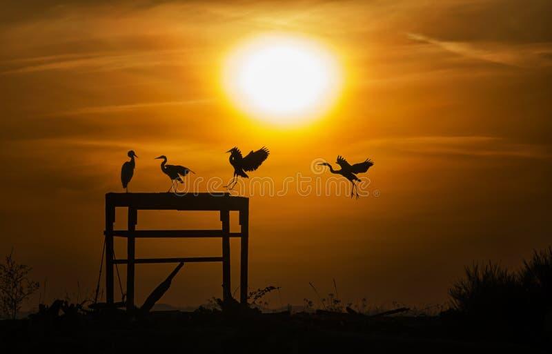 Ερωδιοί στο ηλιοβασίλεμα που σκιαγραφείται στοκ εικόνες με δικαίωμα ελεύθερης χρήσης
