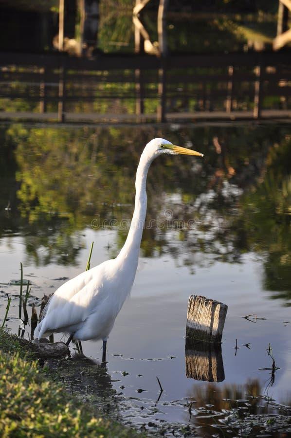 Download ερωδιός αλιείας στοκ εικόνες. εικόνα από άσπρος, birdbaths - 13175308