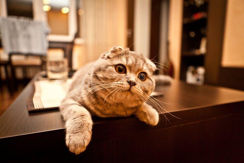 Ερωτεύσιμη σκωτσέζικη γάτα πτυχών στοκ εικόνα