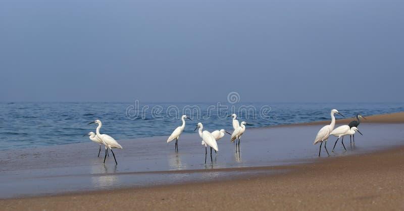 ερωδιοί Ινδία Κεράλα παραλιών κοντά στον ωκεάνιο αμμώδη νότο Κεράλα, νότια Ινδία στοκ φωτογραφία με δικαίωμα ελεύθερης χρήσης