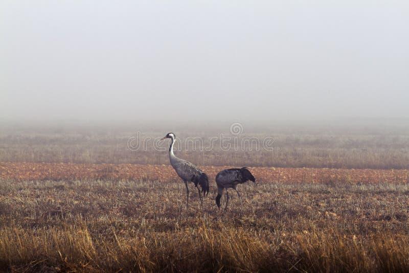 Ερωδιοί στην ομίχλη στοκ εικόνα με δικαίωμα ελεύθερης χρήσης