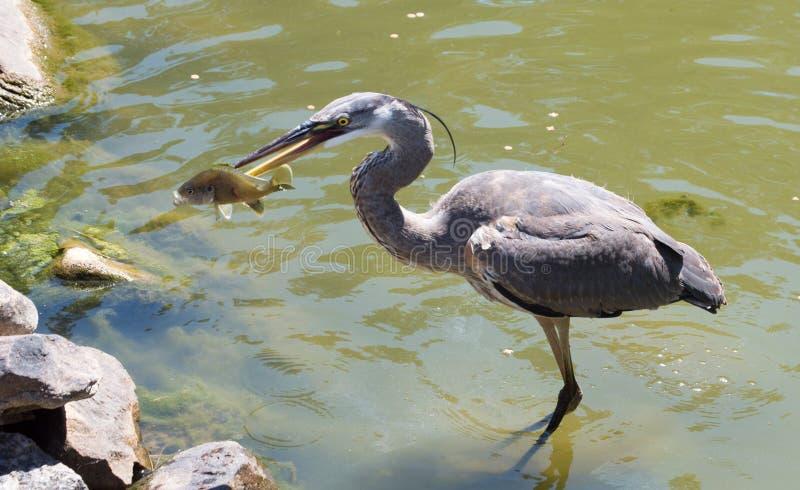 Ερωδιός που πιάνει τα ψάρια στοκ εικόνα με δικαίωμα ελεύθερης χρήσης