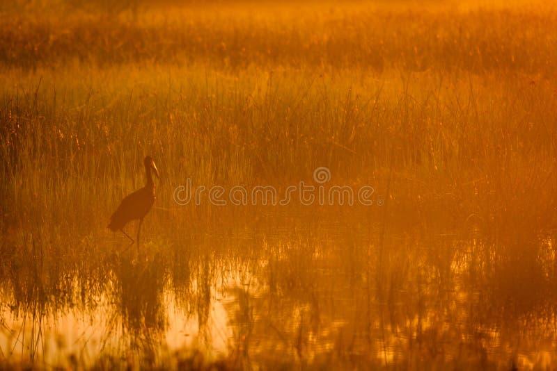 Ερωδιός που στέκεται στην πλημμυρισμένη ελώδη περιοχή που καλύπτεται από την πορτοκαλιά αφρικανική ανατολή στοκ φωτογραφίες με δικαίωμα ελεύθερης χρήσης