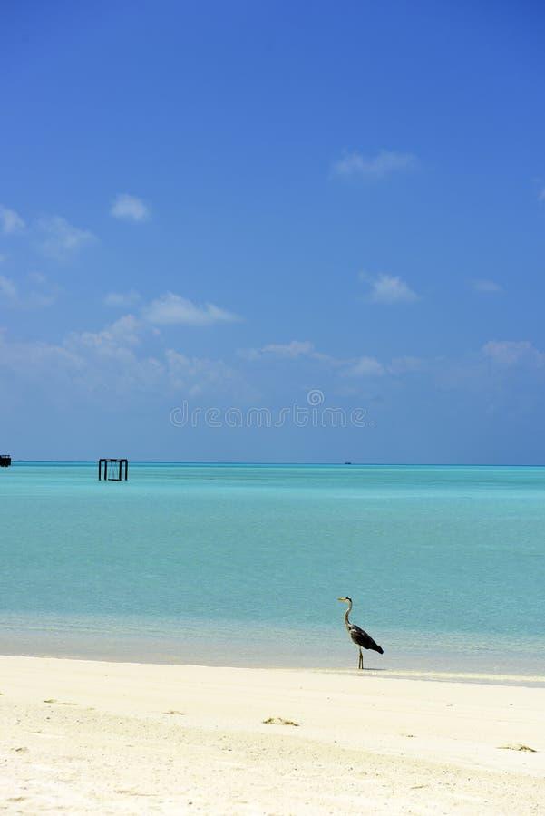 ερωδιός maldivian στοκ εικόνες με δικαίωμα ελεύθερης χρήσης