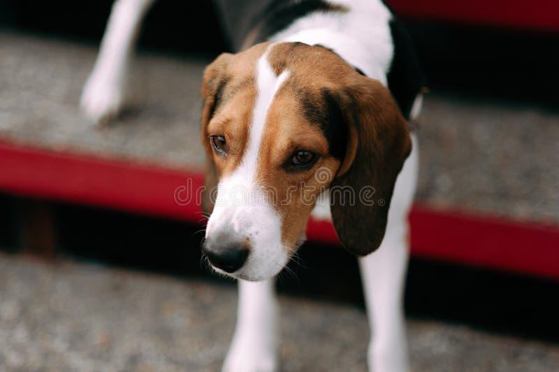 Εσθονικό υπαίθριο στενό επάνω πορτρέτο σκυλιών κυνηγόσκυλων στη νεφελώδη ημέρα στοκ φωτογραφία με δικαίωμα ελεύθερης χρήσης