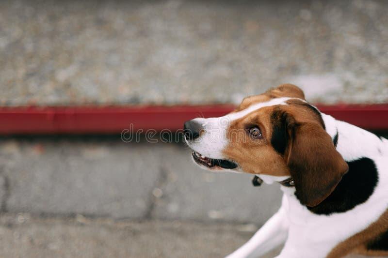 Εσθονικό υπαίθριο στενό επάνω πορτρέτο σκυλιών κυνηγόσκυλων στη νεφελώδη ημέρα στοκ εικόνες