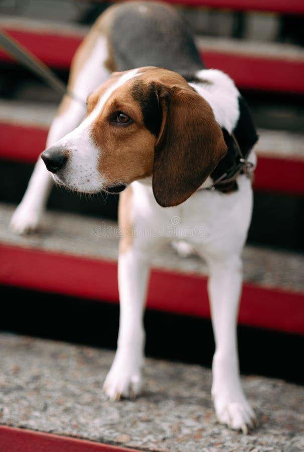 Εσθονικό υπαίθριο στενό επάνω πορτρέτο σκυλιών κυνηγόσκυλων στη νεφελώδη ημέρα στοκ φωτογραφία