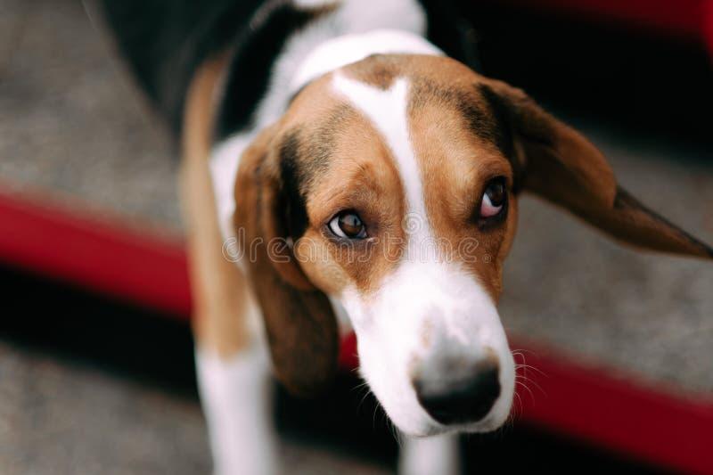 Εσθονικό υπαίθριο στενό επάνω πορτρέτο σκυλιών κυνηγόσκυλων στη νεφελώδη ημέρα στοκ εικόνα