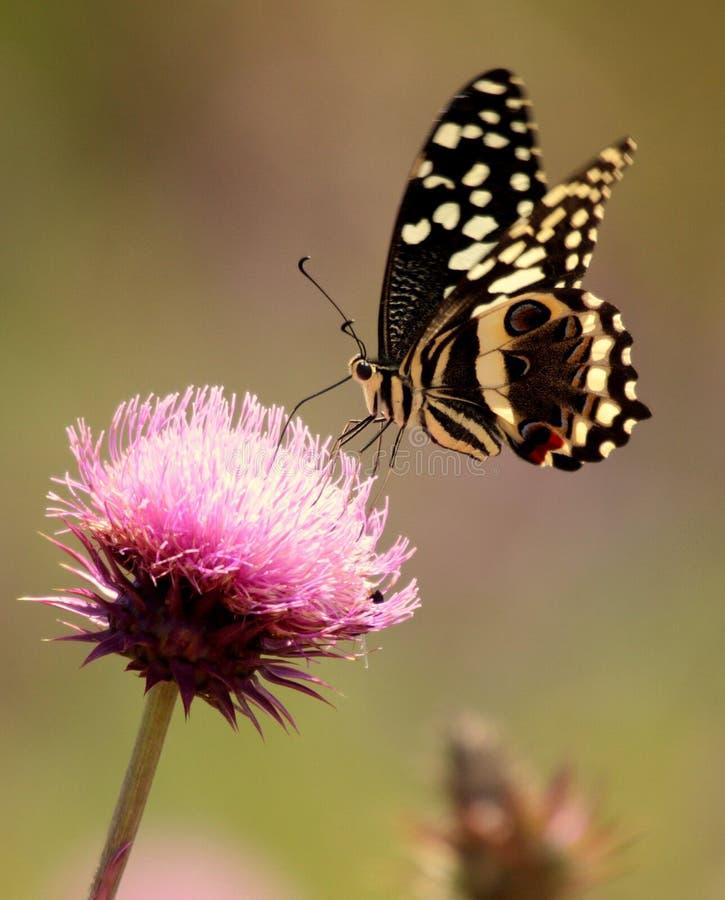 εσπεριδοειδή πεταλούδων swallowtail στοκ φωτογραφία με δικαίωμα ελεύθερης χρήσης