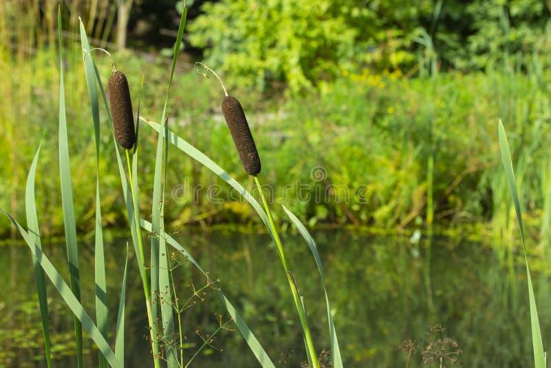 Εσπευσμένο sedge καλάμων καλάμων Reedmace κοντά στην ακτή της λίμνης λιμνών  στοκ φωτογραφία με δικαίωμα ελεύθερης χρήσης