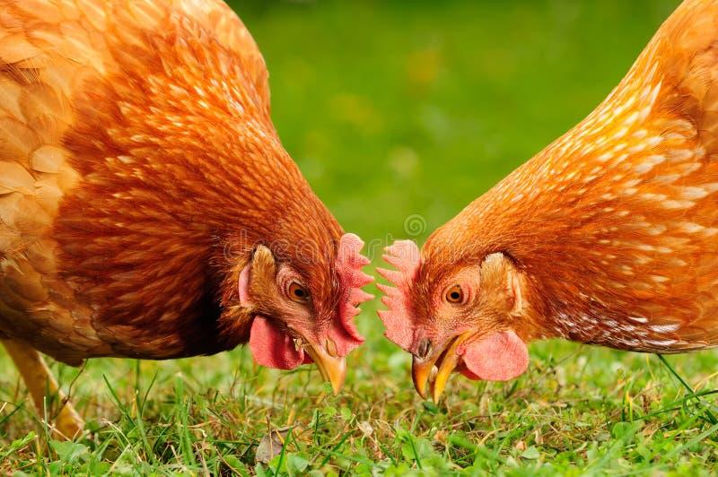 Εσωτερικά κοτόπουλα που τρώνε τα σιτάρια και τη χλόη στοκ φωτογραφία με δικαίωμα ελεύθερης χρήσης