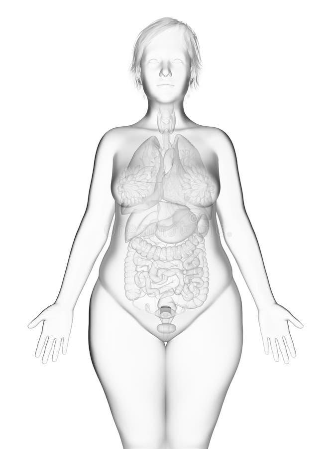 Εσωτερικά όργανα μιας παχύσαρκης γυναίκας απεικόνιση αποθεμάτων
