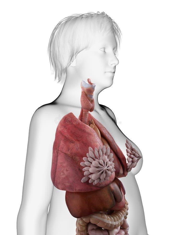 Εσωτερικά όργανα μιας παχύσαρκης γυναίκας διανυσματική απεικόνιση