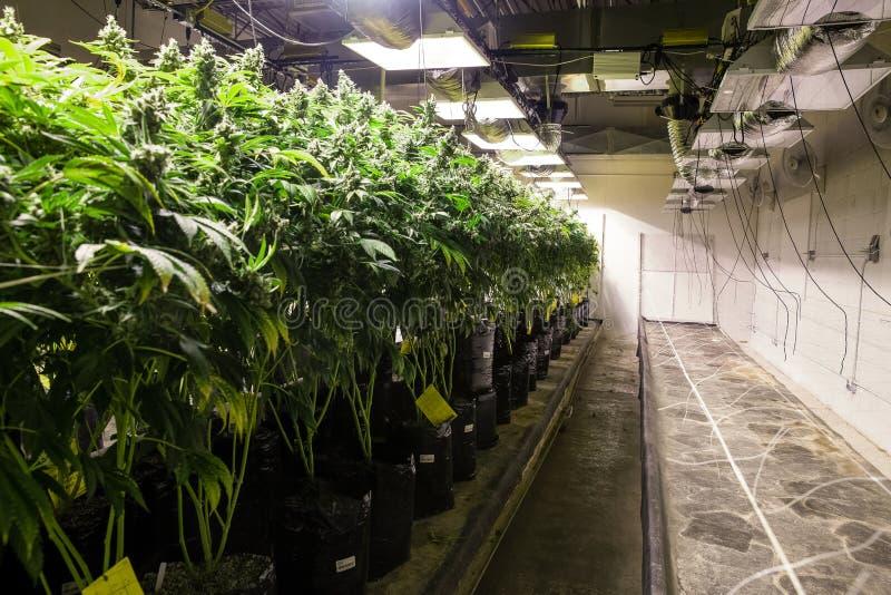 Εσωτερικές εγκαταστάσεις μαριχουάνα στις τσάντες του χώματος στοκ φωτογραφία