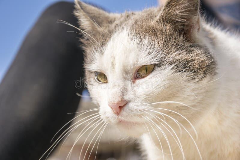 Εσωτερική γάτα με τα συμπαθητικά κίτρινα μάτια στοκ φωτογραφίες