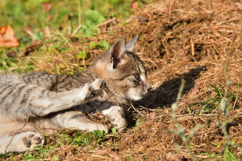 Εσωτερική γάτα που βρίσκεται στον ήλιο και οκνηρή στοκ εικόνα με δικαίωμα ελεύθερης χρήσης