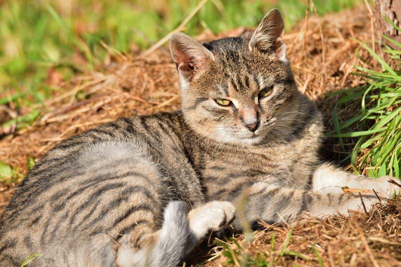 Εσωτερική γάτα που βρίσκεται στον ήλιο και οκνηρή στοκ εικόνα
