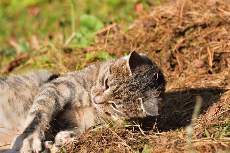 Εσωτερική γάτα που βρίσκεται στον ήλιο και οκνηρή στοκ φωτογραφίες με δικαίωμα ελεύθερης χρήσης