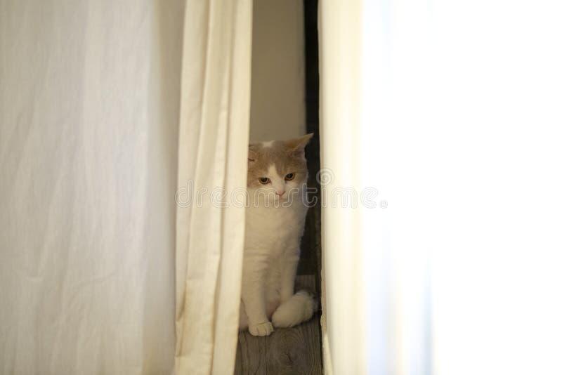 Εσωτερική γάτα, χαριτωμένη, γάτα, περίεργος, οκνηρή στοκ εικόνα