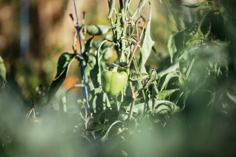 Εσωτερική κηπουρική: Φρέσκο πράσινο πιπέρι στοκ εικόνες