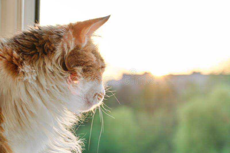Εσωτερική συνεδρίαση γατών tricolor στο windowsill που εξετάζει το ανοικτό παράθυρο, ηλιοβασίλεμα, χρυσή ώρα στοκ εικόνες