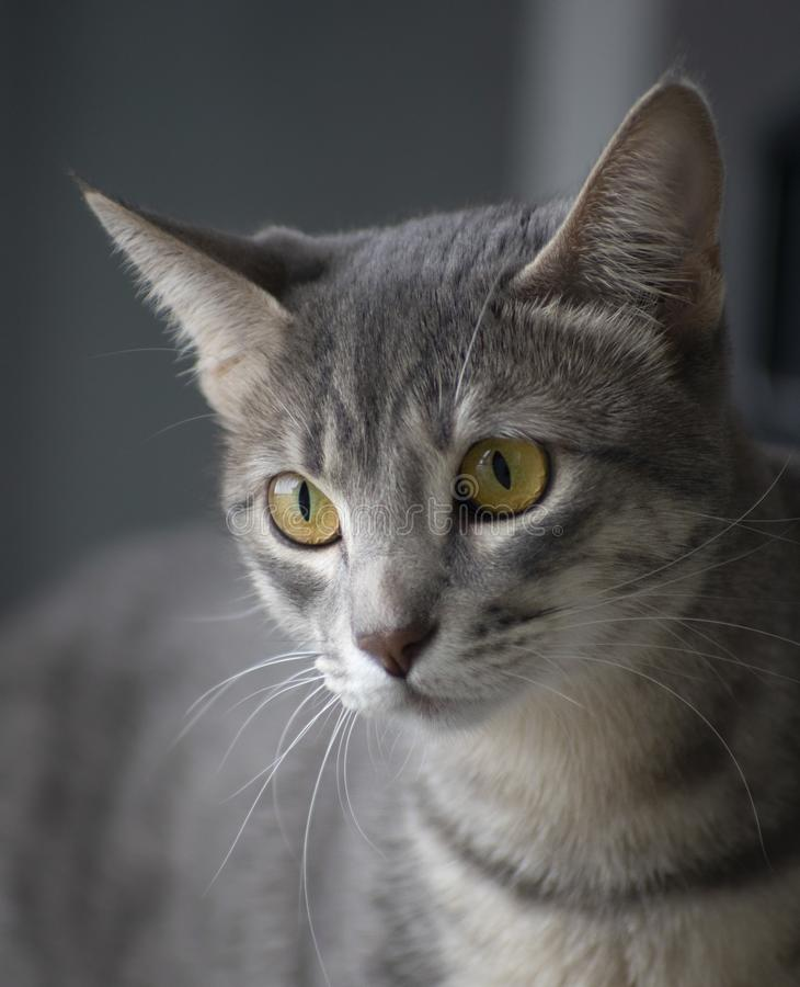 Εσωτερικό πορτρέτο γατών στοκ φωτογραφίες