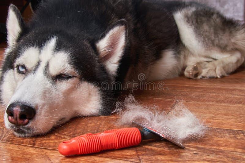 Ετήσιο molt έννοιας, παλτό που ρίχνει, σκυλιά μαδήματος Σιβηρικά γεροδεμένα ψέματα στο ξύλινο πάτωμα δίπλα στην κόκκινη rakers βο στοκ φωτογραφίες