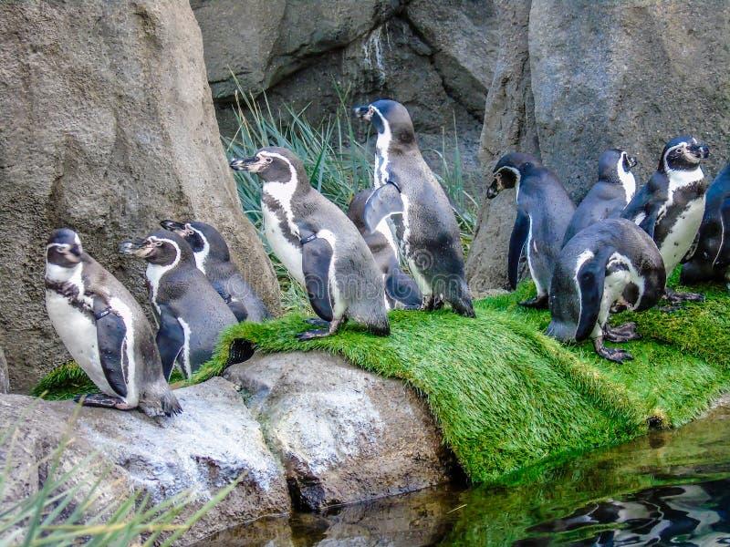 Ευθυμία humboldti Humboldt penguin ` Spheniscus στο νερό και στοκ φωτογραφίες