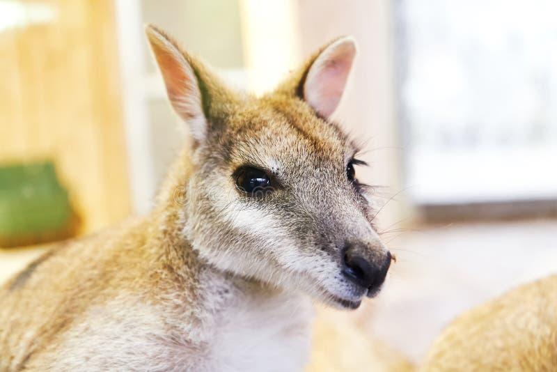 Ευκίνητα wallaby agilis Macropus στοκ φωτογραφίες με δικαίωμα ελεύθερης χρήσης